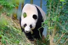 Jia Jia the female panda walking in its enclosure Royalty Free Stock Image