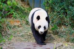 Jia Jia le panda femelle marchant dans sa clôture images stock