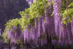 Jiading Wisteria Park. Is located on the riverside of Bole Road in the northwestern suburb of Shanghai, China. It was built to commemorate the 10th anniversary stock photography