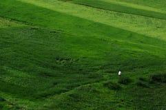 Jiangbulake grasslands. Green cornfield xinjiang Royalty Free Stock Photo