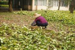 Jiangmen, China: Frauen räumen Unkräuter im Ackerland auf Lizenzfreies Stockfoto