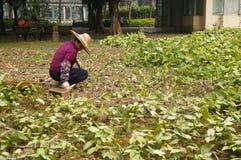 Jiangmen, China: Frauen räumen Unkräuter im Ackerland auf Stockfoto