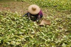 Jiangmen, China: Frauen räumen Unkräuter im Ackerland auf Stockbild