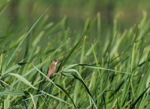 Jiao of reed warbler Stock Images