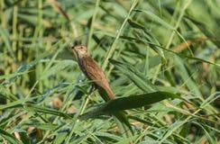 Jiao of reed warbler Royalty Free Stock Photos