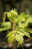 Jiaogulan, Gynostemma, трава чуда, южная женьшень, 5-Leaf женьшень, чай Penta, дерево на предпосылке природы стоковое фото rf