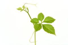 Jiaogulan, Gynostemma, трава чуда, южная женьшень, 5-Leaf женьшень, чай Penta, дерево стоковые фото