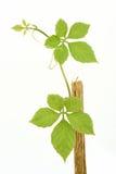 Jiaogulan, Gynostemma, трава чуда, южная женьшень, 5-Leaf женьшень, чай Penta, дерево стоковая фотография rf