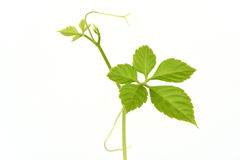 Jiaogulan, Gynostemma, Miracle grass, Southern ginseng, 5-Leaf ginseng, Penta tea,tree. Stock Photos