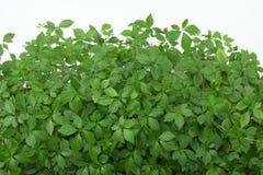 Jiaogulan   /Gynostemma pentphyllum/ Royalty Free Stock Photography