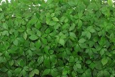 Jiaogulan  /Gynostemma pentphyllum/ Stock Photography