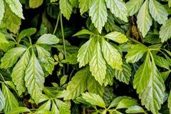 Free Jiaogulan, Herb Of Longevity Royalty Free Stock Image - 31662676