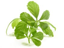Jiaogulan Leaves - Healthy Nutrition royalty free stock photo