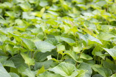 Jicama leaves Stock Photography