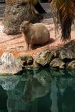 JiCapybara (Hydrochoerus-hydrochaeris) Stock Afbeeldingen