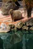 JiCapybara (Hydrochoerus hydrochaeris) Stock Images