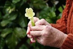 Jichtige handen die een bloem houden Stock Afbeeldingen