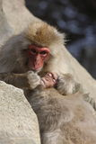 Jigokudani Monkey Park snow monkeys Stock Photos