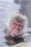 Jigokudani snow monkey bathing onsen hotspring famous sightseein Stock Photography