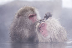 Jigokudani snow monkey bathing onsen hotspring famous sightseein stock images