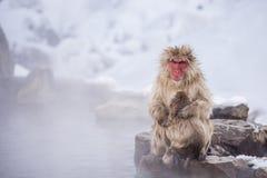 Jigokudani snow monkey bathing onsen hotspring famous sightseein Royalty Free Stock Photo
