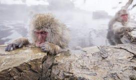 Jigokudani snow monkey bathing onsen hotspring famous sightseein Royalty Free Stock Images