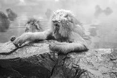 Jigokudani snow monkey bathing onsen hotspring famous sightseein Stock Images