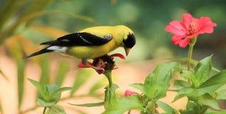 Jilguero-flor fotos de archivo libres de regalías