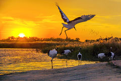 Jilin crane wetland edge Royalty Free Stock Photo