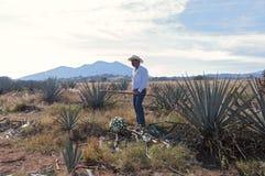 Jimador dans le domaine bleu d'agave image libre de droits