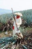 Jimador mężczyzna agawa Zdjęcia Royalty Free
