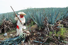 Jimador man agave stock photos