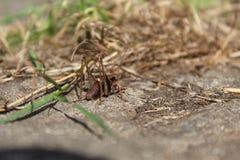 Jiminy蟋蟀痛性痉挛 库存图片