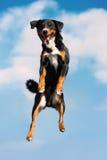 Jimps tricolores del perro altos en el cielo Fotografía de archivo