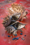 Jimson weed Datura stramonium or Thorn apple. Fruit and seeds Stock Images