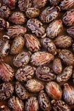 Jimson weed Datura stramonium or Thorn apple Royalty Free Stock Photo