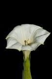Jimweed-Blumenabschluß oben lizenzfreie stockfotografie