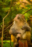 Golden monkey at Jinbian stream in Zhangjiajie Wulingyuan. Jinbian stream is located in Zhangjiajie, named for through the golden whip rock, total length of 5710 stock photo
