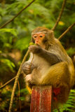 Golden monkey is eating fruit at Jinbian stream in Zhangjiajie Wulingyuan Stock Image