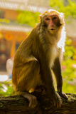 Golden monkey at Jinbian stream in Zhangjiajie Wulingyuan. Jinbian stream is located in Zhangjiajie, named for through the golden whip rock, total length of 5710 royalty free stock image