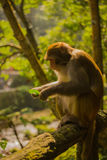 Golden monkey is looking at a leaf at Jinbian stream in Zhangjiajie Wulingyuan Stock Photo