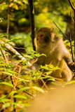 Golden monkey at Jinbian stream in Zhangjiajie Wulingyuan Stock Photos