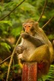 Goldener Affe isst Frucht an Jinbian Strom in Zhangjiajie Wulingyuan Stockbild