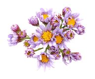 Jindai Tatarian Aster Royalty Free Stock Photography