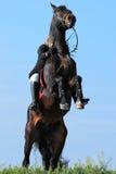 Jinete en el caballo alzado Foto de archivo libre de regalías