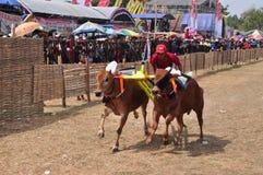 Jinete que compite con toros en la raza de Madura Bull, Indonesia Imágenes de archivo libres de regalías