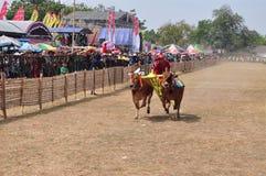 Jinete que compite con toros en la raza de Madura Bull, Indonesia Imagen de archivo libre de regalías