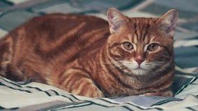 Jinger-Katze, die auf Bett liegt 4K stock video footage