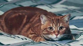 Jinger-Katze, die auf Haupthintergrund spielt 4K stock video