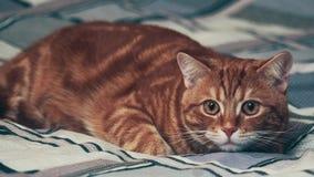 Jinger-Katze, die auf Schlafzimmer backgrond liegt 4K stock video